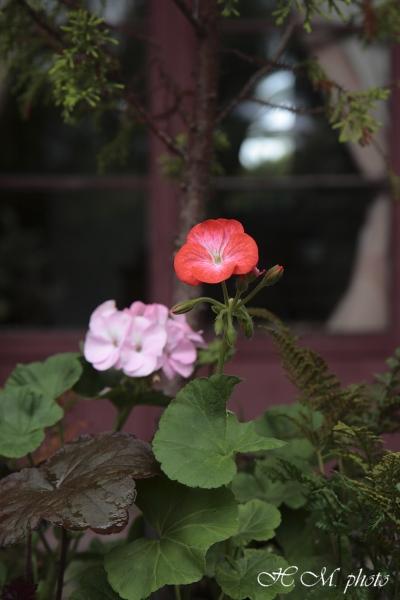 2008_グラバー園(花)_01.jpg