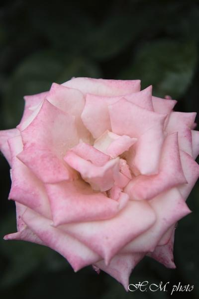 2008_グラバー園(花)_06.jpg