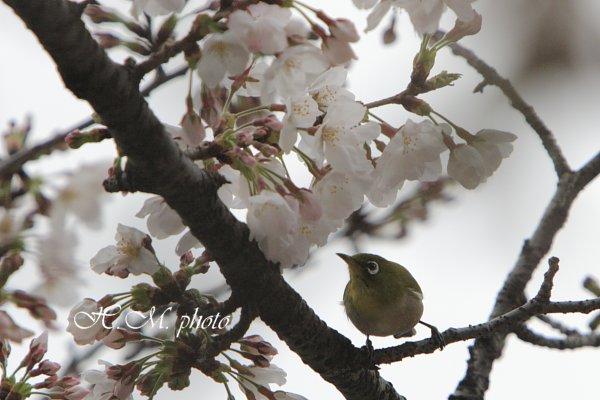 2009_メジロ_01.jpg
