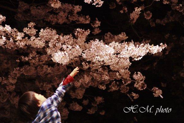 2009_原爆公園の夜桜_04.jpg