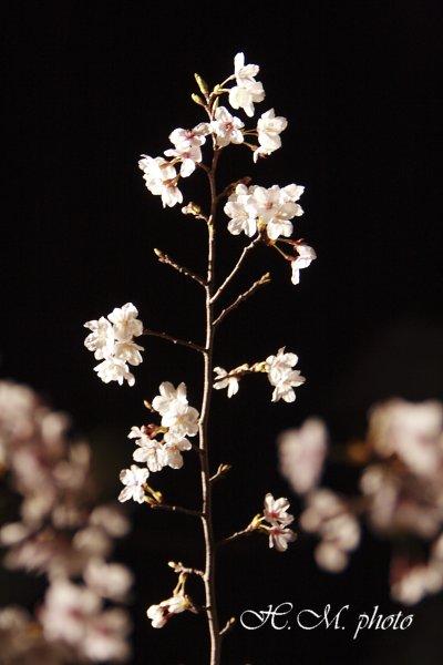 2009_原爆公園の夜桜_05.jpg