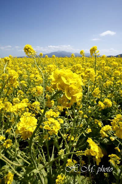 2009_諫早干拓地の菜の花_01.jpg