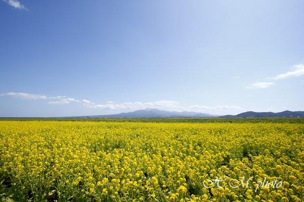 2009_諫早干拓地の菜の花_03.jpg