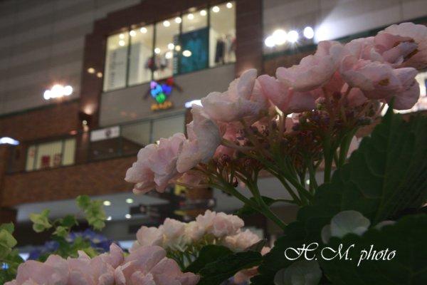 2009_長崎あじさいまつり_03.jpg