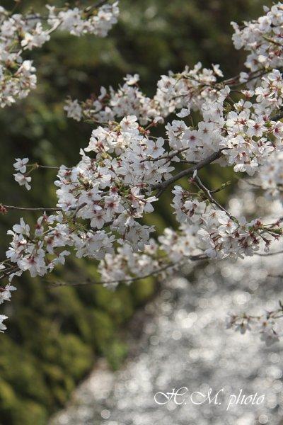 2010_芒塚町の桜_01.jpg