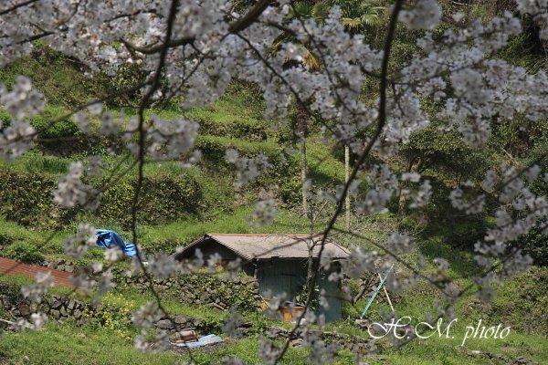 2010_芒塚町の桜_02.jpg