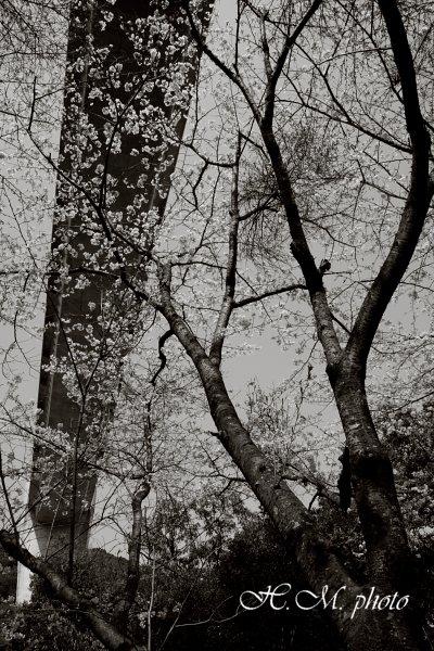 2010_芒塚町の桜_03.jpg