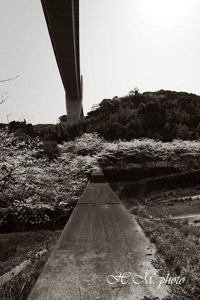 2010_芒塚町の桜_04.jpg