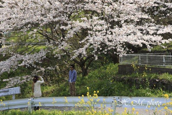 2010_芒塚町の桜_06.jpg