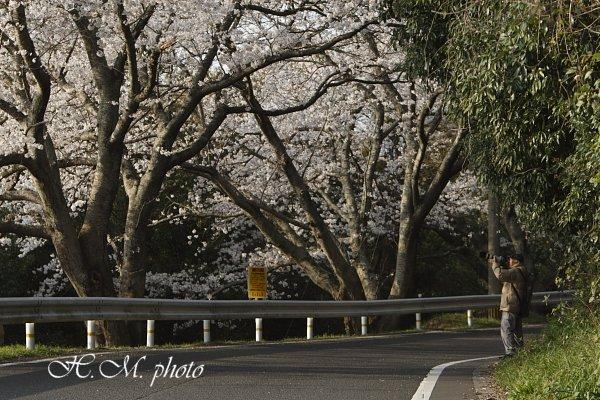 2010_長与町の桜_04.jpg