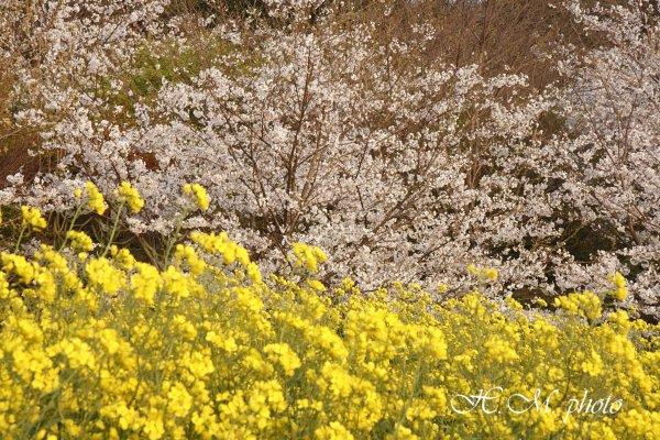 2010_長与町の桜_05.jpg